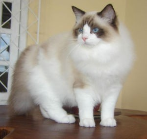 Ragdoll Cat Names_Colorpoint