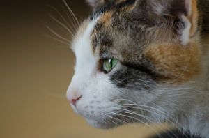 female calico cat names