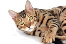 bengal cat names