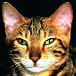 Bengal Cat Names - Cute, Cool, Popular & Exotic Names for Bengal Cats