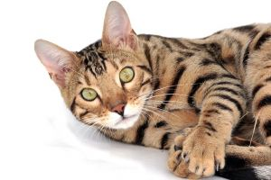 girl bengal cat names